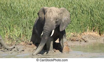 African elephant in mud - African elephant (Loxodonta...