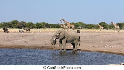 Majestic African Elephant drinking in waterhole in Etosha National Park, with group of giraffes and gnu in background, Namibia africa safari wildlife