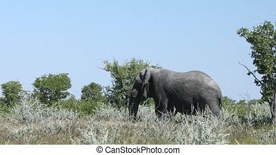 Majestic African Elephant in Etosha game reserve, Botswana safari wildlife