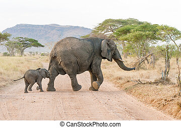 African Elephant in Serengeti National Park - Two Wild...