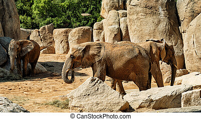 African elephant in the middle