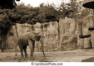 african elephant in the nature
