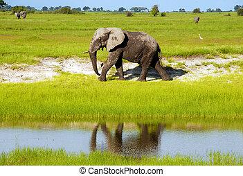 Dirty african elephant in wild grass savanna(National park Chobe, Botswana, South Africa)