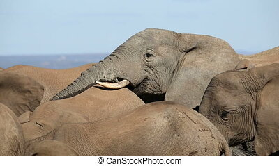 African elephant interaction - An African elephant bull...