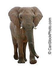 African Elephant - Isolated