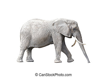 African elephant isolated on white background