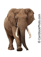 Huge African elephant male with large tusks isolated on white background