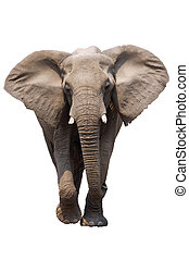 African Elephant isolated on white; Loxodonta Africana; Etosha