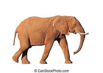 African Elephant Isolated - Isolated African elephant male...