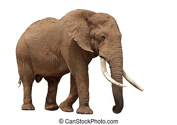 African Elephant - Isolated - African elephant with huge...