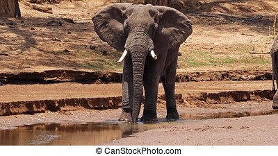 African Elephant, loxodonta africana, Adult drinking at River, Samburu Park in Kenya, Real Time