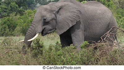 African Elephant, loxodonta africana, Adult eating Bush, Masai Mara Park in Kenya, Real Time