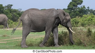 African Elephant, loxodonta africana, Adult eating the Bush, Masai Mara Park in Kenya, Real Time