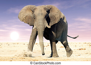 African elephant (Loxodonta africana). Animal in the wild during the sunrise