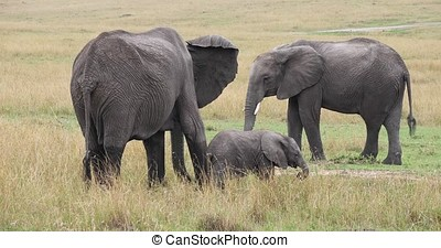 African Elephant, loxodonta africana, Group eating Grass, Masai Mara Park in Kenya, Real Time