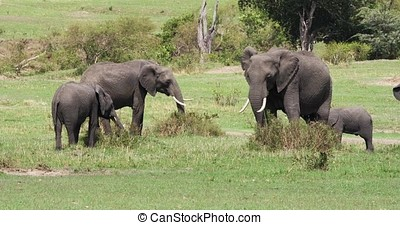 African Elephant, loxodonta africana, Group eating the Bush, Masai Mara Park in Kenya, Real Time