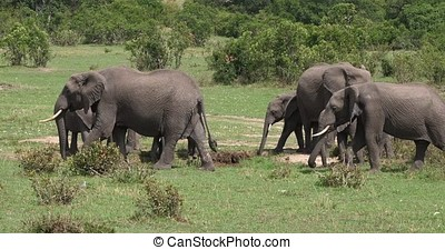 African Elephant, loxodonta africana, Group in the Bush,...