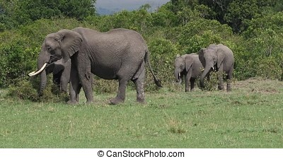 African Elephant, loxodonta africana, Group in the Bush, Masai Mara Park in Kenya, Real Time