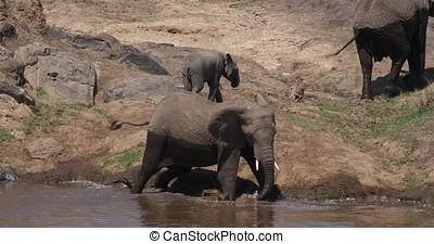 African Elephant, loxodonta africana, Masai Mara Park in...