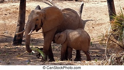 African Elephant, loxodonta africana, Mother and Calf...
