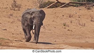 African Elephant, loxodonta africana, Samburu Park in Kenya,...