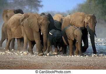 African elephant, Loxodonta africana, group mammals, Namibia