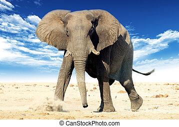 African elephant (Loxodonta africana). Animal in the wild...