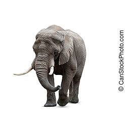 African elephant male on white