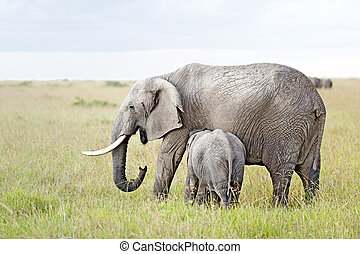 African Elephant nursing her calf