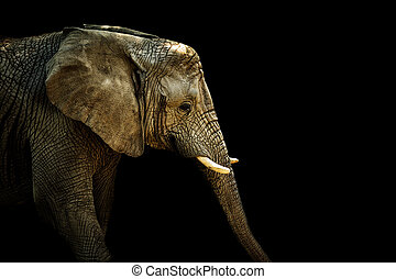 African elephant on the black