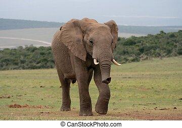 African Elephant running across the open plains