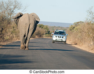 An African elephant walking down a roadway as tourists take pictures from a vehicle in Kruger National Park