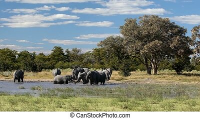 African Elephant on waterhole, Africa safari wildlife -...