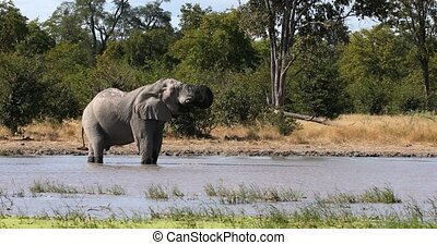 Majestic African Elephant on waterhole in Moremi game reserve Botswana, Africa safari wildlife