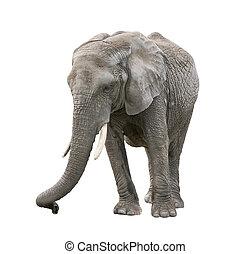 African Elephant on white background
