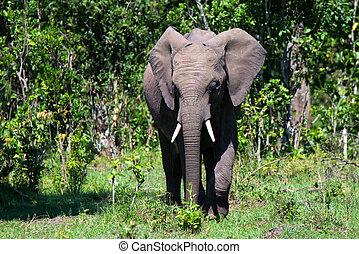 Browsing African elephant or Loxodonta cyclotis in savannah