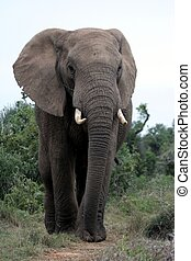 Large African Elephant with long trunk and big tusks