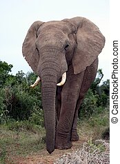 Portrait of large African Elephant with long trunk and big tusks
