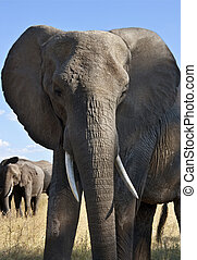 African Elephant - Savuti region of Botswana