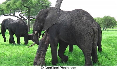 African elephant scratching
