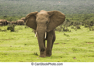 African elephant showing aggression