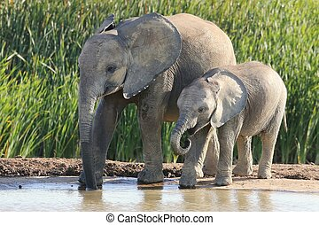 African Elephant Siblings