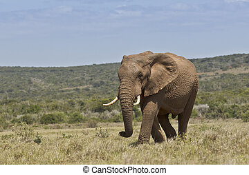 African elephant walking in short dry grass