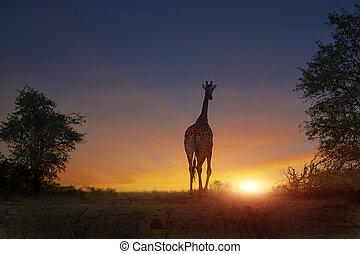 african elephant walking in sunset - african giraffe walking...