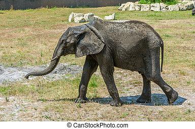 African Elephant walking on a plain.