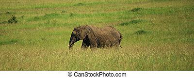 African elephant walking through the grass
