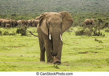 African elephant walking towards the camera