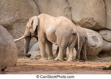 African elephant with a cute elephant calf
