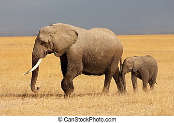 African elephant with calf - African elephant (Loxodonta...