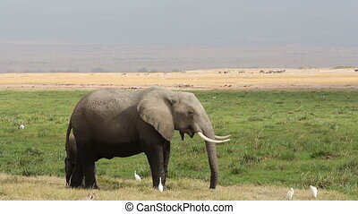 African elephant with young calf